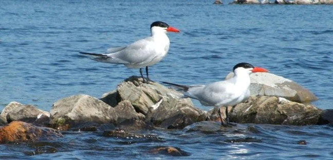 Perching Pair of Caspian Terns on Elliot Lake.  Photo by Scott Prevost